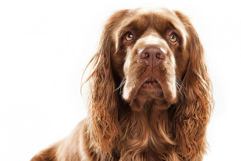 Keith Barraclough, Sussex Spaniel
